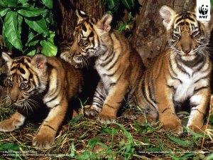 sumatran_tiger_3